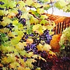 "Grapevines by Nancy O'Toole Acrylic ~ 40"" x 30"""