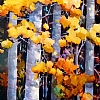 "AUTUMN ASPENS by Nancy O'Toole Acrylic ~ 36"" x 18"""