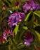 Rhododendron by Sandra Corpora