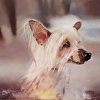 Archie, the Chinese Crested