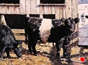 "Belted Galloways, Afternoon Light by Brian Kliewer Oil ~ 6"" x 8"""