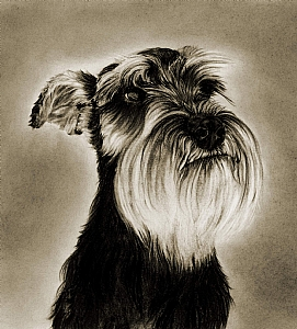 Minature Schnauzer  (large) by Marsha Robinett Carbon Pencil ~ 11 x 11