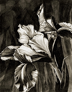 Dutch Iris  (large) by Marsha Robinett Carbon Pencil ~ 11 x 14