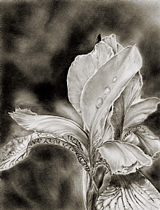 Old Fashioned Iris  (small) by Marsha Robinett Carbon and Graphite Pencil ~ 9 x 7