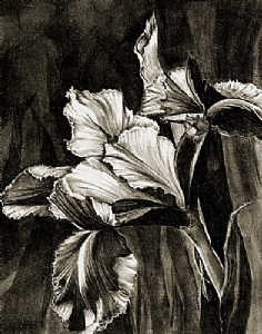 *Dutch Iris by Marsha Robinett Charcoal and Carbon Pencil ~ 9 x 7