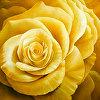 Large Yellow Rose