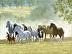 Junior Leads the Herd by Roseann Munger