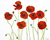 poppies 2 - smaller size by Roseann Munger