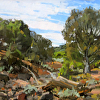 Holt- The Search for the Secret Structure of Junipers V- 12x12- oil- 2014- plein air