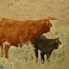 """Crooked Creek Cow"""