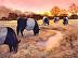 Galloways Grazing at Sunrise by Kristina Occhino