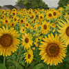 Sunflowers at Buttonwood Farm