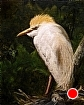 "Cattle Egret: A Southern Gentleman by Wes Hyde Oil ~ 10"" x 8"""