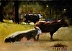 Cows in the Sun series by john reynolds - Oil