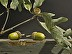 sunlight on acorns by Loren DiBenedetto