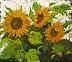Arizona Sunflowers by Dikki Van Helsland