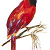 Cardinal Fireweed