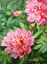 """Peony Study 17"" by Kathleen W O'Connell"