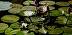 Lirios de agua 1 (Water Lilies 1) by Gualberto Del Toro