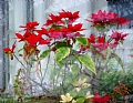 "2/20/2010 Poinsettias by Alan Wood Photograph ~ 11"" x 14"""