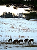 "White Tail Deer at Valley Forge by Alan Wood Photograph ~ 19"" x 13"""