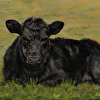 black angus youngster resting