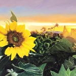 Marti Walker - YOLO COUNTY SUNFLOWERS!