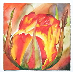 "rose on fire by Don Sinish Watercolor ~ 22.5"" x 22.5"""
