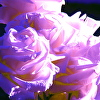 white roses blue and violet