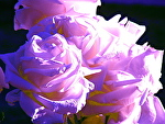 white roses blue and violet by Don Sinish  ~  x