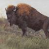 Southern Plains Bison