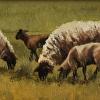 Harmony - Suffolk Sheep