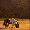 Horse and Mule at Sunset