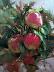 Wenatchee Pink Lady's by Mary Maxam