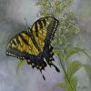 Swallowtail II