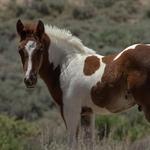 "Powder River Art Gallery LLC - Susan Sandburg Humphrey ""The Wild Horse Photographer"""